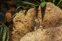 Iguana Στοκ Φωτογραφίες