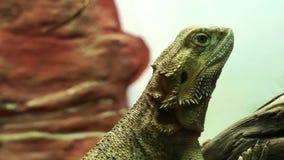 Iguana almacen de metraje de vídeo