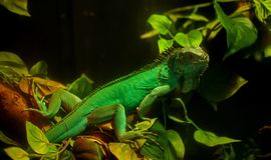 Iguana Imágenes de archivo libres de regalías