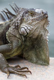 Iguana. Beautiful iguana lives itself with people in a park in Miami Stock Image