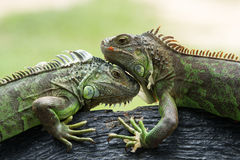 Iguana Royalty Free Stock Images