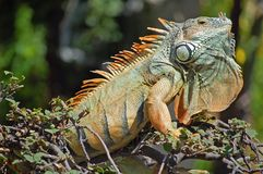 Iguana. Green iguana at attention during mating season in Mexico Royalty Free Stock Images