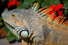 Iguana. Close-up of green iguana during mating season in Mexico Royalty Free Stock Image