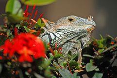 Iguana. Green iguana peeking through the bushes in Mexico Stock Photo
