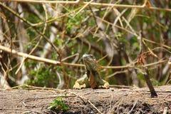 Iguana Fotografia de Stock Royalty Free