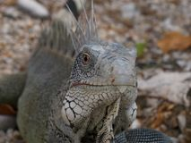 Iguana 02 Fotografia Stock