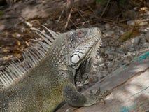 Iguana 01 στοκ φωτογραφία με δικαίωμα ελεύθερης χρήσης