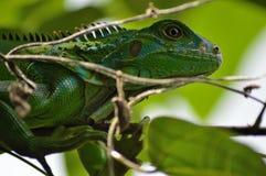 Iguana Foto de Stock Royalty Free
