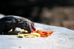 Iguana. Eating papaya stock photography