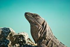 Iguana Fotografie Stock