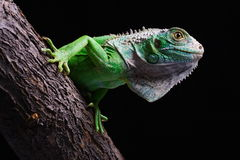 Iguana. Close-up on a iguana in front of a black background stock photo