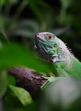 Iguana. A young iguana in my home stock photography