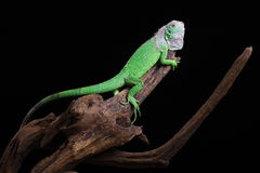 Iguana. Close-up on a iguana in front of a black background stock image