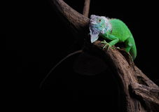 Iguana. Close-up on a iguana in front of a black background royalty free stock images