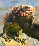 Iguana. Animal, Caribbean, cute, desert, funny, Galapagos, green, happy, humor, , island, lizard, Mexico, nature, outdoors, pet, reptile, scales, spike, tongue royalty free stock photo