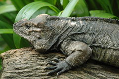 Iguana. Reptiles in Singapore Zoological Garden Royalty Free Stock Photography