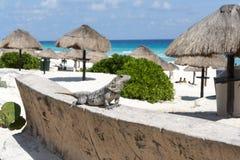 Free Iguana Stock Photos - 49389203
