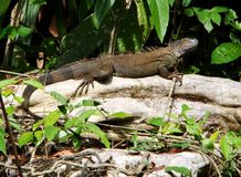 Iguana. In jungle setting Costa Rica Stock Photos