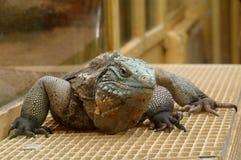 Iguana 2 Zdjęcia Royalty Free