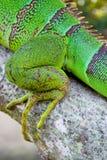 iguana obrazy royalty free