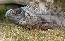 Iguana Στοκ Εικόνα