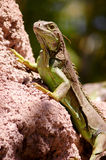 Iguana. Green iguana (Iguana iguana) sitting on the stone Royalty Free Stock Photo