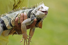 Iguana. On hands of their owner Royalty Free Stock Image