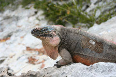 Iguana. Island iguana on tropical island in Bahamas royalty free stock image