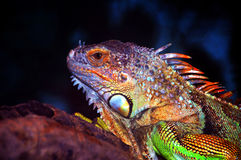 Iguana. Close-up of a colorful iguana with dark background stock photo