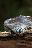 Iguana. Fierce Looking Iguana Royalty Free Stock Photography