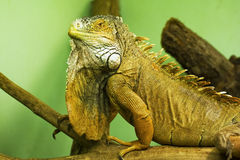 Iguana. Portrait of the green  iguana Royalty Free Stock Photos