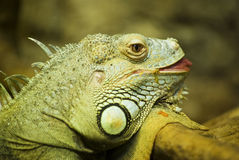 Iguana. Close up portrait of iguana Royalty Free Stock Images
