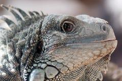 Iguana Imagen de archivo libre de regalías