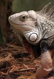 Iguana. An iguana making eye contact with the camera/viewer. Some negative space for text Royalty Free Stock Image