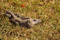 Iguana. An iguana on the grass Stock Photography