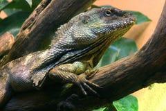 Iguana. Spiny tailed madagascar iguana on tree Royalty Free Stock Image