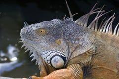 Iguana. Closeup of a male Royalty Free Stock Photos