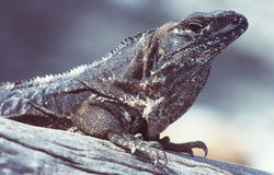 Iguana. Portrait stock photography