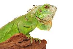 iguana Obraz Stock