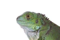 Iguana. A great and green iguana baby Royalty Free Stock Photography