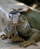 Iguana Royalty Free Stock Photo
