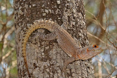 Iguana. Wild Iguana on the tree, Madagascar Stock Photo