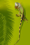 Iguana. A large iguana with orange and green colors and stripes on the tail. Shadow of a palm frond is to the left of the image. Green background royalty free stock image