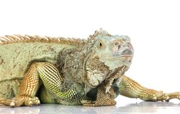 Iguana Fotografia de Stock
