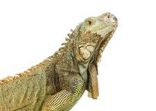 Iguana Imagem de Stock Royalty Free
