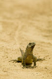 Iguana. South American Iguana royalty free stock photography