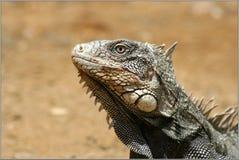 Iguana. Portrait bonaire wild animal Royalty Free Stock Photo
