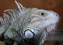 Iguana. Close-up of an Iguana Royalty Free Stock Image
