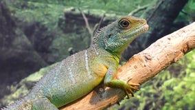 Iguana filme