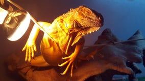 Iguana Fotos de Stock